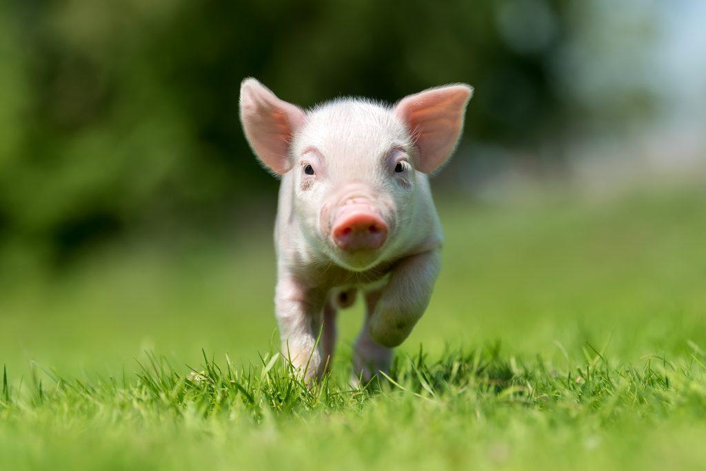 中國非洲豬瘟疫情 如何衝擊全球肉品市場?