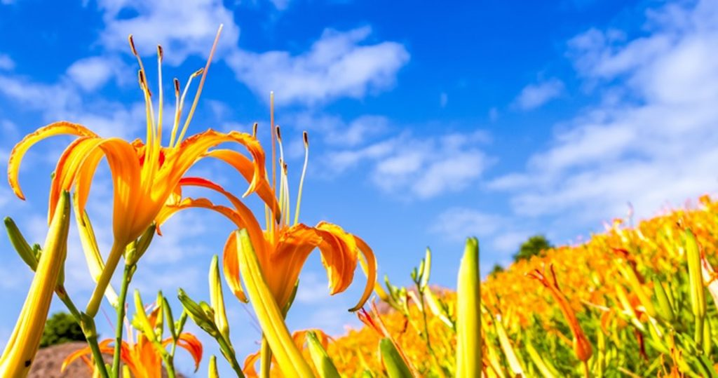 【踩點吧】金黃璀璨盛開!必訪花東4大金針花海,保證美到哭!